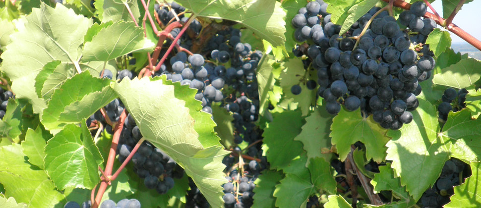 Bunches of ripe purple grapes hang among grapevines with full green leaves